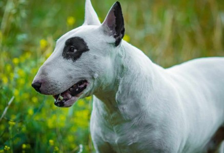 English Bull Terriers face