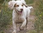 Clumber Spaniel Puppy