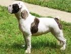 Old Tyme Bulldog