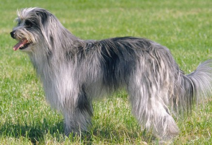 Pyrenean-Sheepdog.jpg