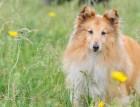 Young Shetland Sheepdog