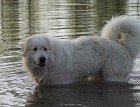 Pyrenean Mountain Dog Playing