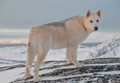 Senior Greenland Dog