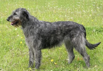Irish-Wolfhound.jpg