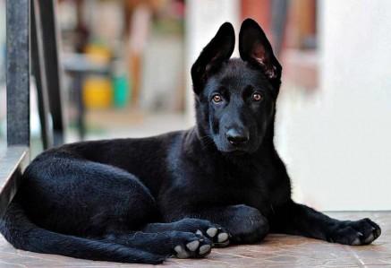 Black-German-Shepherd-Puppy