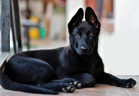 Black-German-Shepherd-Puppy