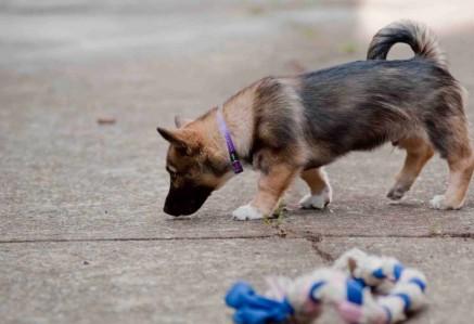 Swedish Vallhund Puppy