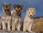 Greenland Dog Puppies