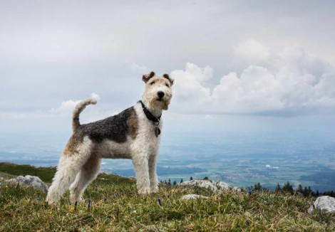 Adult Fox Terrier