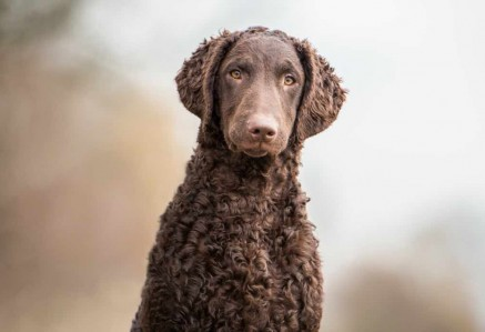 Curly Coated Retrievers face