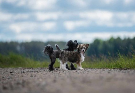 Two Chinese Crested Dogs