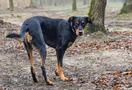 Adult Beauceron