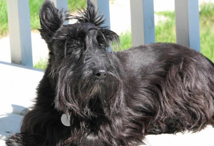 Adult Scottish Terrier