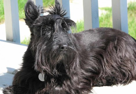 Adult Scottish Terrier