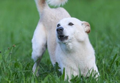 Young Canaan Dog