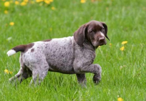 German Longhaired Pointer Puppy
