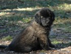 Adult Estrela Mountain Dog