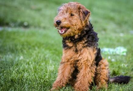 Adult Welsh Terrier
