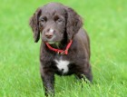Sprocker Puppy