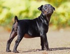 Patterdale Terrier Puppy