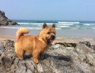 Mature Norwich Terrier