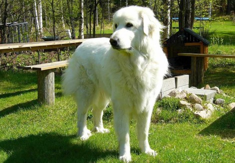 Adult Pyrenean Mountain Dog
