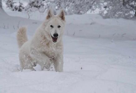 White Swiss Shepherd Running In Snow