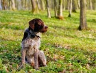Adult German Wirehaired Pointer