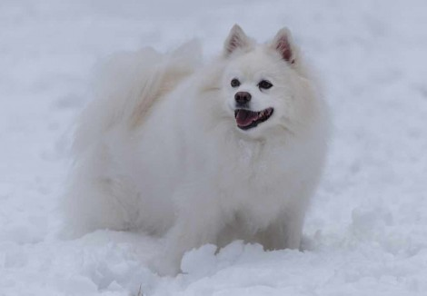 Adult German Spitz