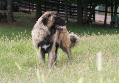 Estrela Mountain Dog Puppy