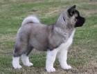 Chunky Akita Puppy