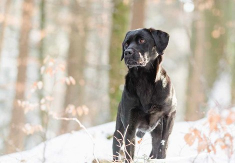 Adult Labrador Retriever