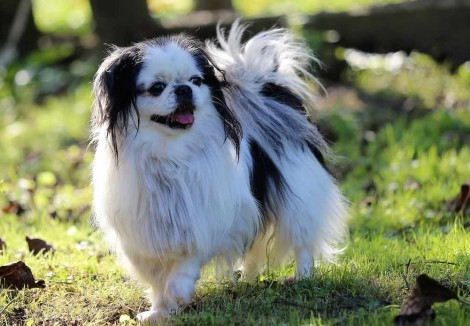 Young Japanese Chin