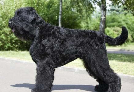 Russian-Black-Terrier.jpg