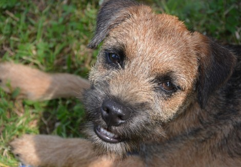 Border Terriers Face