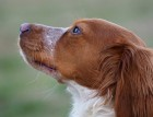 Brittany Spaniels Face