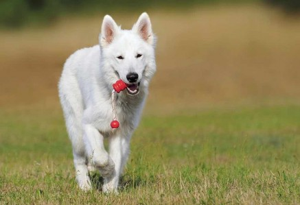 White Swiss Shepherd Playing