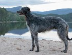 Adult Deerhound