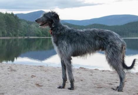 Adult Deerhound