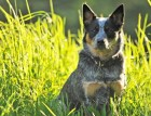Adult Australian Cattle Dog