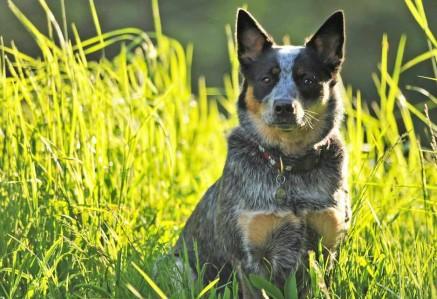 Adult Australian Cattle Dog