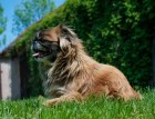 Senior Pekingese Dog