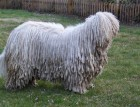 Adult Komondor