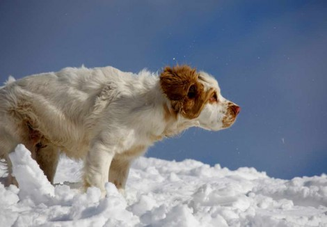Adult Clumber Spaniel