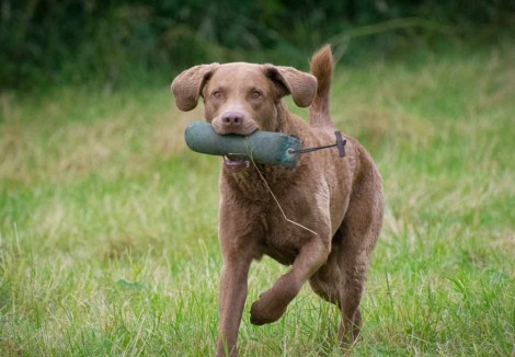 Chesapeake Bay Retriever Retrieving