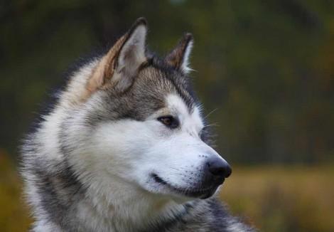 Alaskan Malamute Face