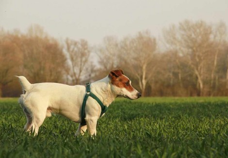 Adult Jack Russell