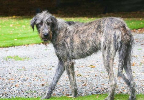 Adult Irish Wolfhound