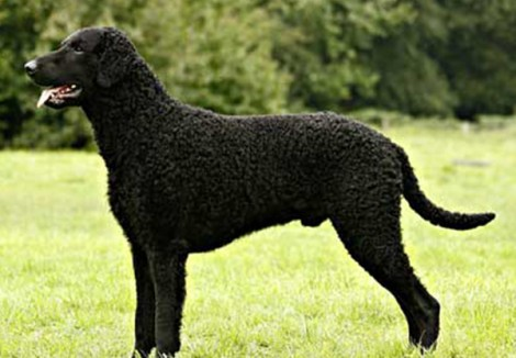 Curly Coated Retriever