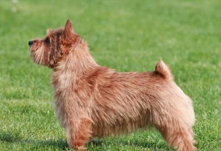 Norwich-Terrier.jpg